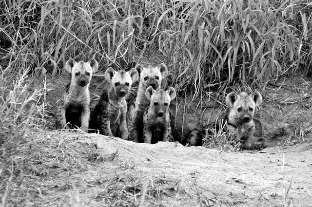 Baby Hyenas at their hideout