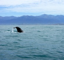 Whale Watch Kaikoura_Ardent Traveler (6)
